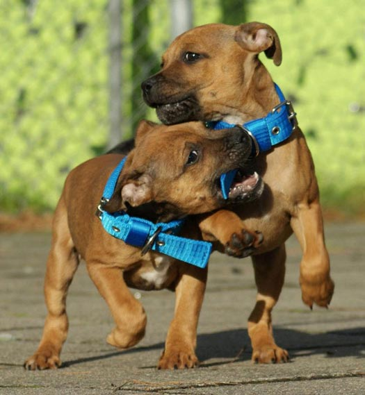 Engelse Stafford puppies - Quinlent Staffordshire Bull Terriers