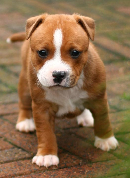 Staffordshire Bull Terrier pup - Rik & Willy's Oh Putain